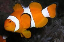 Finding Nemo: What You Need to Know About Clownfish