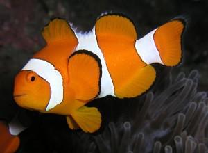 clownfish-pic1